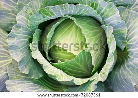 green cabbage's head with leafs