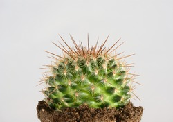 green cactus in potting soil with long thorns against white background