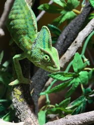 green cameleon in a tree