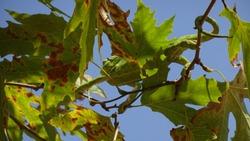 Green cameleon on tree branch