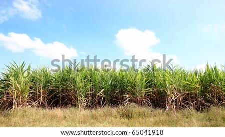 green cane field farm beautiful blue sky