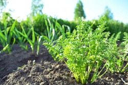 Green carrot seedlings in the vegetable garden. Home growing vegetables in spring time. Free copy space.
