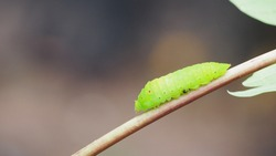 Green caterpillar crawling on a branch with blurred background.
