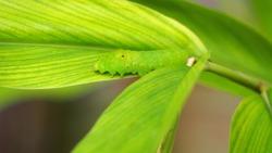 Green caterpillar crawling on a green leaf.