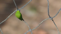 Green caterpillar crawling on the net with a blurred background.