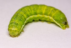 Green caterpillar. Green worm. Close-up worm. Poisonous caterpillar. Poisonous warm. Butterfly larva. Caterpillar butterfly. Selective focus.