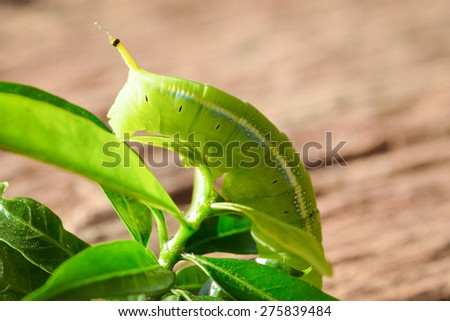 Green Caterpillar on green leaf wood background