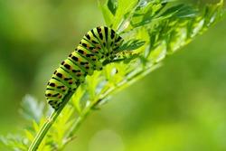 Green caterpillar on natural background