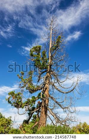 green cedar tree in Livadia palace park, Yalta, Crimea, Russia. Fountain-tree