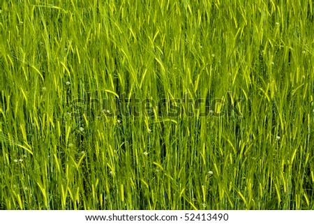Green cereal or buckwheat field with some spikes background in spring