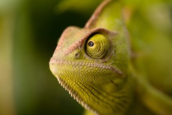 Green chameleon camouflaged by taking colors of its natural background.  Tropical animal on natural green leaf.