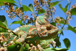 Green chameleon camouflaged by taking colors of its nature