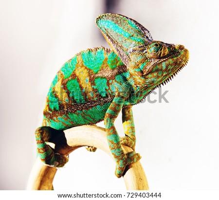 green chameleon  close-up  photo - Shutterstock ID 729403444