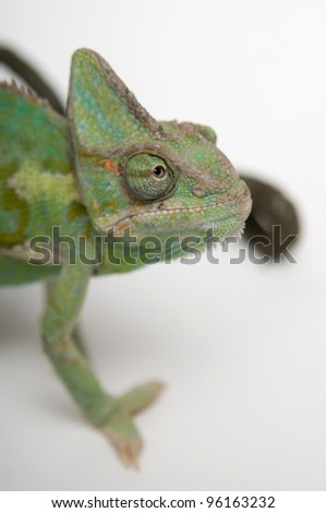 Green chameleon face closeup against white background - stock photo