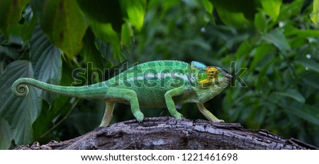 Green chameleon in jungle Lokobe Reserve, Nosy Be, Madagascar