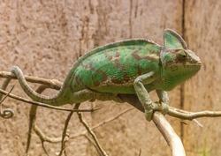 Green chameleon lizard sitting on a dead tree branch