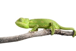green chameleon on a branch isolated on white
