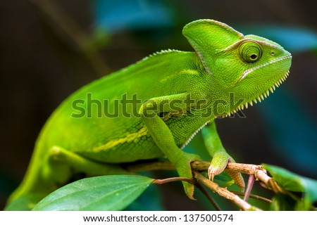 Green chameleon on a tree