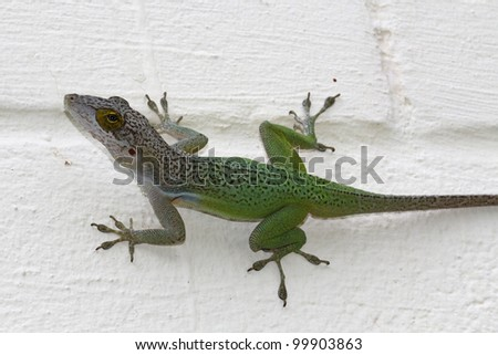 Green chameleon on a white painted block wall in Antigua Barbuda in the Caribbean Lesser Antilles West Indies.  Names are Leach's Anoles (Anolis leachii) - stock photo