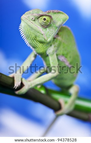 Green Chameleon on the sky