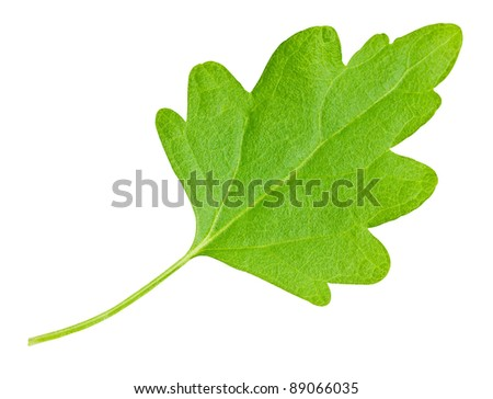 Green chamomile leaf isolated on a white background with clipping path