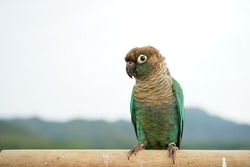 Green cheek conure on the sky and mountain background, the small parrot of the genus Pyrrhura, has a sharp beak. Native to South America (Amazon).