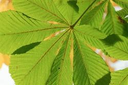 Green chestnut leaf close-up, background, autumn time period