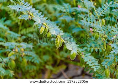 green chickpeas crop - ripe crop #1392528056