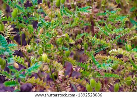 green chickpeas crop - ripe crop #1392528086
