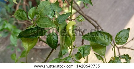 green chilli on trees and leaves