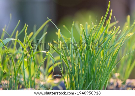 Green chives, vegetable garden and background are blurred. Foto stock ©
