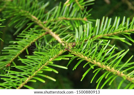 Green Christmas tree branch close-up in forest. Spruce branches with needles