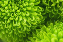 Green chrysanthemum close up. Fresh colorful image for your design. Macro image with small depth of field.