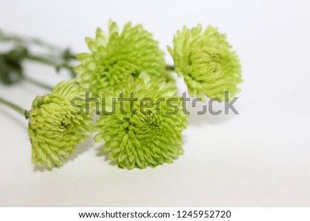 Green chrysanthemums on white background #1245952720