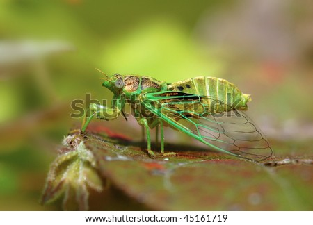Green cicada #45161719