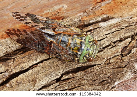 Green Cicada Camouflaged against Textured Tree Bark
