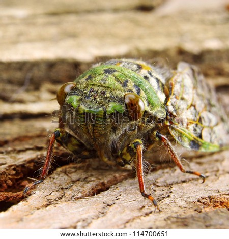 Green Cicada Resting on Tree Bark in narrow focus