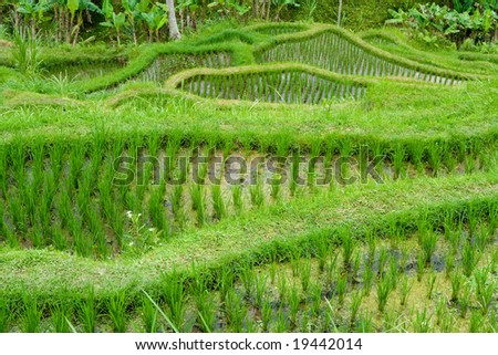 Green classic rice terraces in Indonesia (Bali)