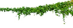Green climbing plant isolated on white background.