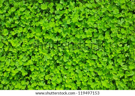 green clover grass field. st Patrick day background