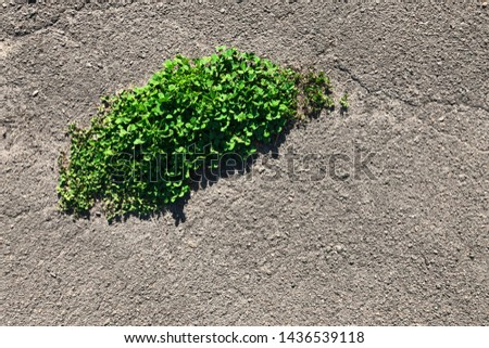 green clover grows among asphalt. weed growing through crack in pavement. vitality and the fight against obstacles