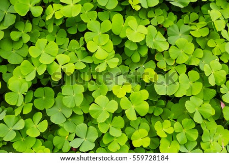 Green clovers leaf