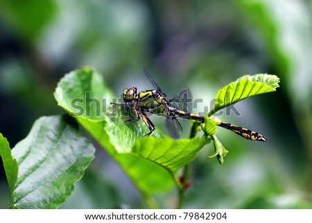 "Green Club-tailed Dragonfly Snaketail - Ophiogomphus cecilia ""Natura 2000"" protected specie"