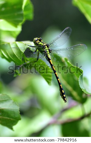 "Green Club-tailed Dragonfly Snaketail - Ophiogomphus cecilia ""Natura 2000"" protected specie - stock photo"