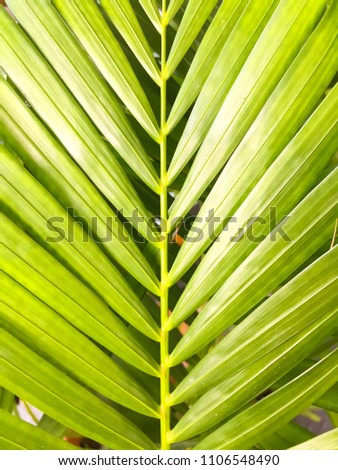 Green coconut leaves or Cocos nucifera L with many leaf. This is macro image of coconut tree branch Coconut tree