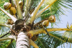 Green coconut palm growing at tropical beach