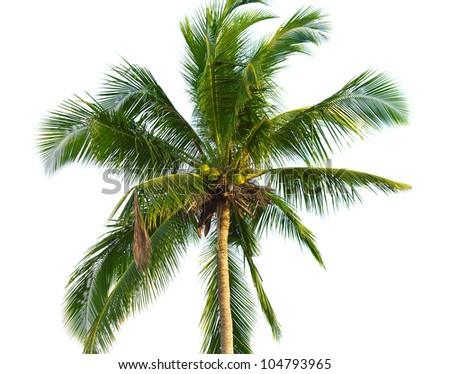 green coconut palm isolated on white background