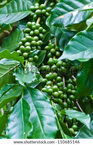 Green coffee beans growing on the branch in Chiang Mai ,Thailand