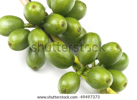 Green coffee before it is ripe, still growing, isolated on white, macro lens used.