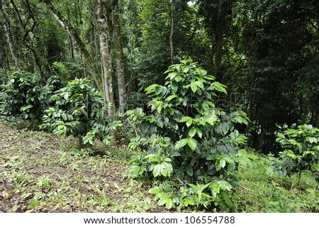 Green coffee - coffee trees